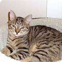 Adopt A Pet :: ChiChi - Portland, OR
