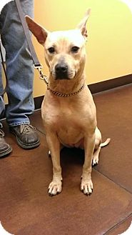 American Pit Bull Terrier Mix Dog for adoption in Phoenix, Arizona - Eileen