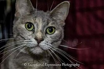 Abyssinian Cat for adoption in Holden, Missouri - Kaitlyn