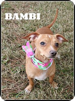 Dachshund/Chihuahua Mix Dog for adoption in Houston, Texas - Bambi