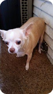 Chihuahua Dog for adoption in TAHOKA, Texas - SAPPHIRE