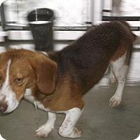 Beagle Dog for adoption in Bonifay, Florida - Jethro