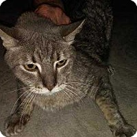 Domestic Shorthair Cat for adoption in Dallas, Texas - Cubby