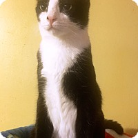 Adopt A Pet :: Marty - Handsome Regal Tuxedo - Metairie, LA