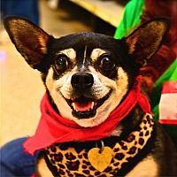 Chihuahua Mix Dog for adoption in Fairfax Station, Virginia - Gracie Lou