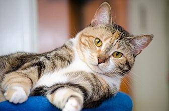 Domestic Shorthair Cat for adoption in Atlanta, Georgia - Ingrid 13748