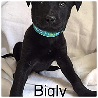 Adopt A Pet :: Bigly - Newport, KY
