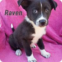 Adopt A Pet :: Raven - New Oxford, PA