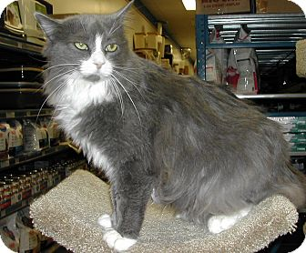 Domestic Shorthair Cat for adoption in Bear, Delaware - Pinky
