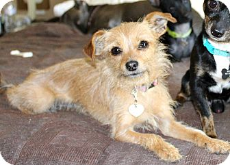 Terrier (Unknown Type, Small) Mix Dog for adoption in Temecula, California - Gypsy-5 lbs