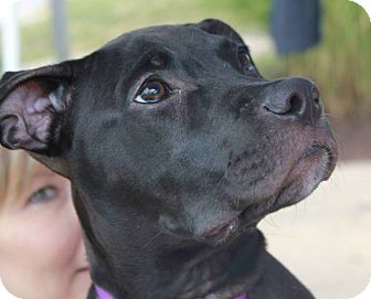 Labrador Retriever/Terrier (Unknown Type, Medium) Mix Puppy for adoption in North Olmsted, Ohio - Frannie
