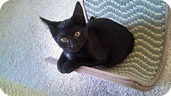 Domestic Shorthair Kitten for adoption in Horsham, Pennsylvania - Stella