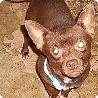 Adopt A Pet :: Chih - Aloha, OR
