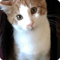 Domestic Shorthair Kitten for adoption in Pasadena, Maryland - Lil' Orange