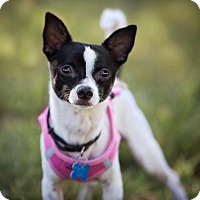 Chihuahua Mix Dog for adoption in El Cajon, California - James