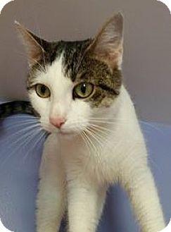 Domestic Shorthair Cat for adoption in Springfield, Vermont - Savannah (urgent)