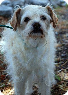 Terrier (Unknown Type, Medium) Mix Dog for adoption in Hayden, Idaho - Roscoe