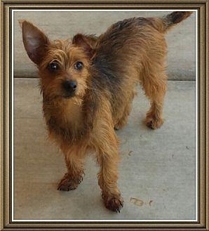 Irish Terrier/Border Terrier Mix Puppy for adoption in Phoenix, Arizona - Vincent