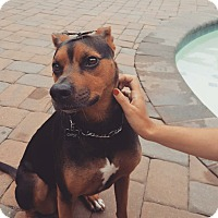 Doberman Pinscher Mix Dog for adoption in Sparta, New Jersey - Gypsy - Courtesy Listing