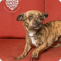 Adopt A Pet :: Cayenne Pepper - Inglewood, CA