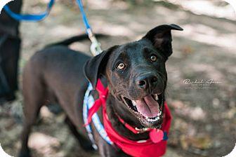 Labrador Retriever Mix Puppy for adoption in Huntsville, Alabama - Dennis