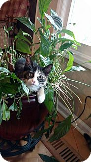 Domestic Mediumhair Kitten for adoption in Warner Robins, Georgia - Moxie