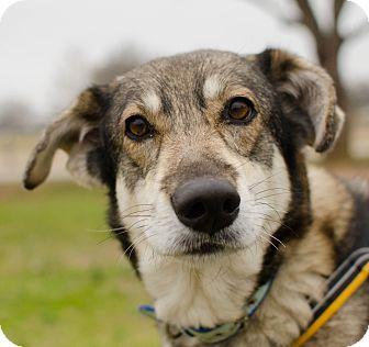 Shepherd (Unknown Type)/Siberian Husky Mix Dog for adoption in Greenwood, South Carolina - Rosaline