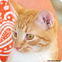 Adopt A Pet :: Taz - Knoxville, TN