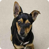 Rat Terrier Mix Dog for adoption in Decatur, Illinois - OZ