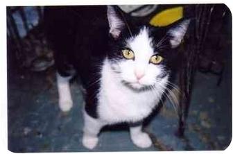 Domestic Shorthair Cat for adoption in cincinnati, Ohio - Darla