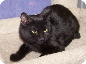 Domestic Shorthair Kitten for adoption in Colorado Springs, Colorado - K-Nicholas2-Licorice