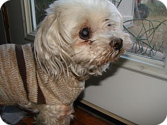 Maltese Dog for adoption in Chandler, Arizona - Oliver