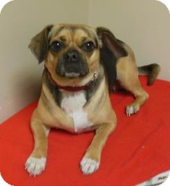 Pug/Beagle Mix Dog for adoption in Gary, Indiana - Daisy