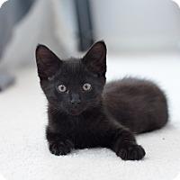 Adopt A Pet :: Talon - St. Louis, MO
