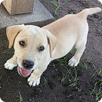 Adopt A Pet :: Socks - Orange Lake, FL