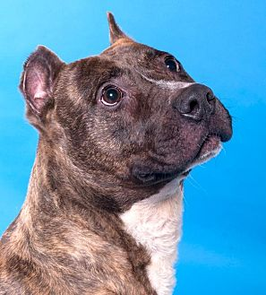 American Staffordshire Terrier/Pit Bull Terrier Mix Dog for adoption in Chicago, Illinois - Bullwinkle