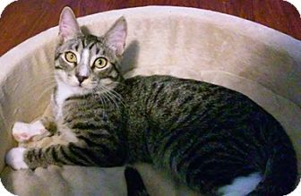 Domestic Shorthair Kitten for adoption in North Highlands, California - Army