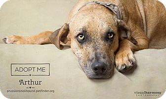 Catahoula Leopard Dog/Labrador Retriever Mix Dog for adoption in Phoenix, Arizona - Arthur