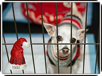 Chihuahua Mix Dog for adoption in Fallbrook, California - Chloe