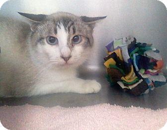 Siamese Cat for adoption in Muskegon, Michigan - pia