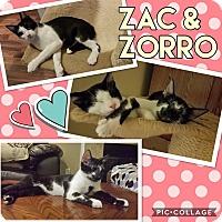 Manx Kitten for adoption in Keller, Texas - Zak
