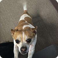 Chihuahua Mix Dog for adoption in Apache Junction, Arizona - Peanut