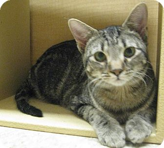 Domestic Shorthair Cat for adoption in McHenry, Illinois - George