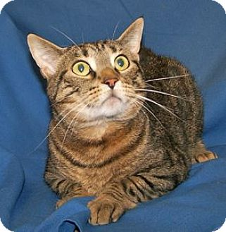 Manx Cat for adoption in Colorado Springs, Colorado - K-Lillian7-Judah