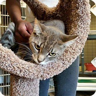 Domestic Shorthair Cat for adoption in Sewaren, New Jersey - Inolia