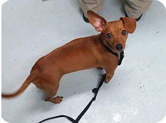 Dachshund/Chihuahua Mix Dog for adoption in Mount Pleasant, South Carolina - Pretty Boy
