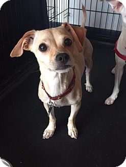 Chihuahua Dog for adoption in Freeport, New York - Betsey