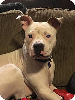 Boxer Mix Dog for adoption in Warrenville, Illinois - Stevie Wonder