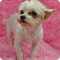 Adopt A Pet :: Macie-Adoption pending - Bridgeton, MO