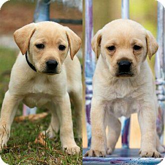 Labrador Retriever Mix Puppy for adoption in Saratoga Springs, New York - Greta 💜 ADOPTED!